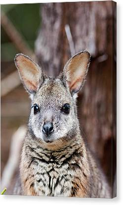 Tammar Wallaby (macropus Eugenii Canvas Print by Martin Zwick