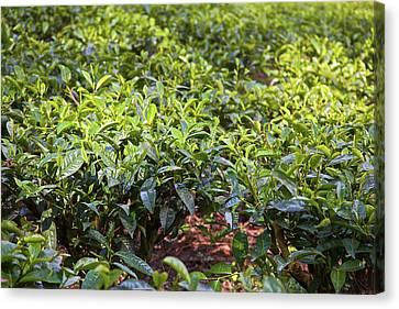 Camellia Canvas Print - Tea Plants (camellia Sinensis by Connie Bransilver