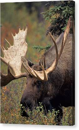 Usa, Alaska, Bull Moose, Denali Canvas Print by Gerry Reynolds