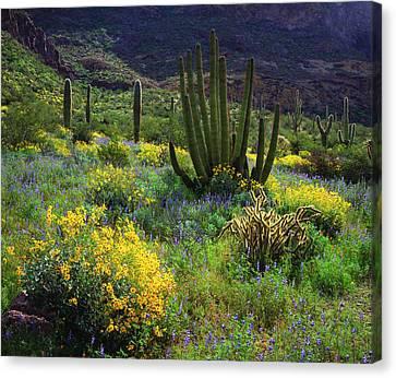 Usa, Arizona, Organ Pipe Cactus Canvas Print by Jaynes Gallery