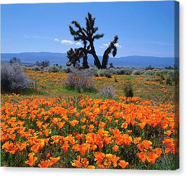 Usa, California, California Poppies Canvas Print by Jaynes Gallery