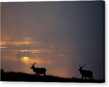 Usa, California, Sunset, Tule Elk Canvas Print by Gerry Reynolds