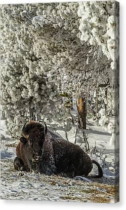 Usa, Wyoming, Yellowstone National Park Canvas Print