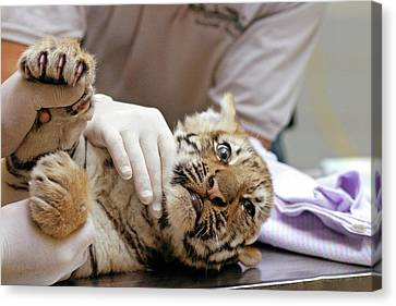 Vets Examining An Amur Tiger Cub Canvas Print by Jim West