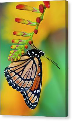 Viceroy Butterfly That Mimics Canvas Print