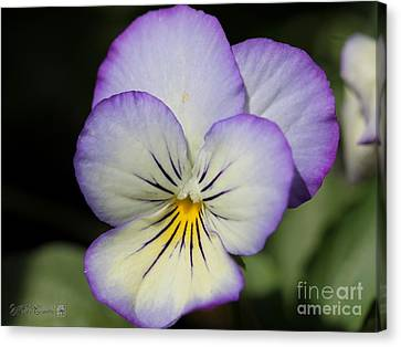 Viola Named Sorbet Lemon Blueberry Swirl Canvas Print by J McCombie