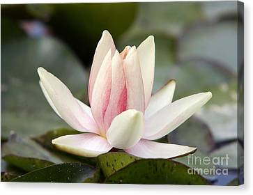 Waterlily Canvas Print - Waterlily by Michal Boubin
