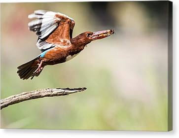 White-throated Kingfisher Canvas Print by Photostock-israel