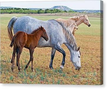 Wild Horse Mother And Foal Canvas Print by Millard H Sharp