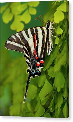 Zebra Swallowtail Butterfly, Eurytides Canvas Print by Darrell Gulin