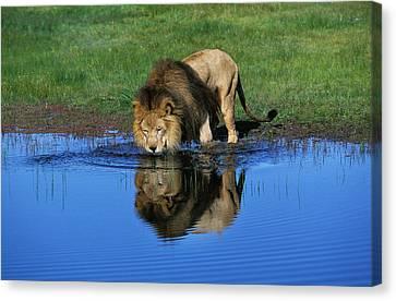 Lion Dafrique Panthera Leo Canvas Print by Gerard Lacz