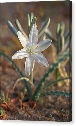 Usa, California, Anza-borrego Desert Canvas Print by Jaynes Gallery