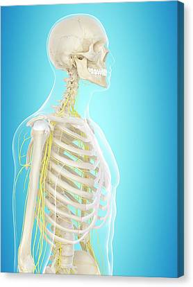 Normal Canvas Print - Human Nervous System by Sciepro