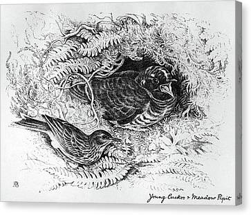 Blackburn Birds, 1895 Canvas Print by Granger