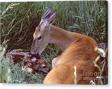 White-tailed Deer Canvas Print by Jack R Brock