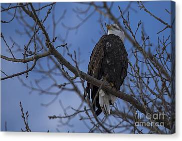 Bald Eagle In Le Claire Iowa Canvas Print