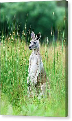 Eastern Grey Kangaroo (macropus Canvas Print