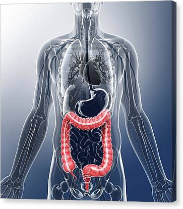 Human Digestive System Canvas Print by Pixologicstudio