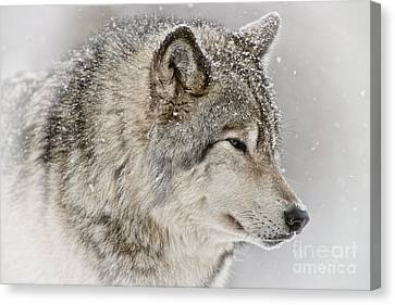 Canvas Print - Timber Wolf by Michael Cummings