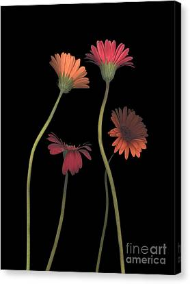 4daisies On Stems Canvas Print by Heather Kirk