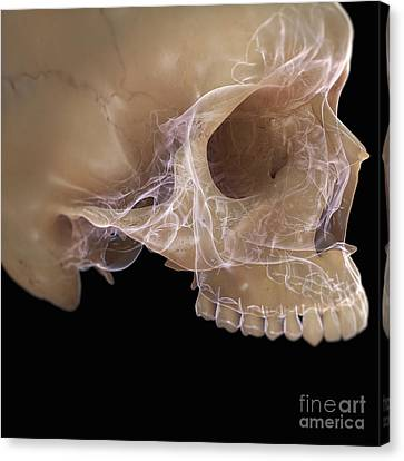 Anatomy Of The Skull Canvas Print