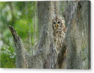 Barred Owl (strix Varia Canvas Print by Larry Ditto