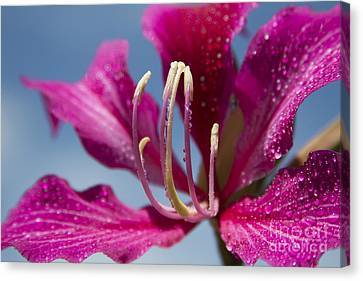 Bauhinia Purpurea - Hawaiian Orchid Tree Flowers Canvas Print by Sharon Mau