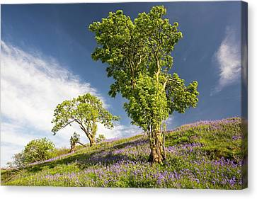 Bluebells Growing On A Limestone Hill Canvas Print by Ashley Cooper