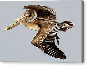 Brown Pelican Canvas Print by Paulette Thomas