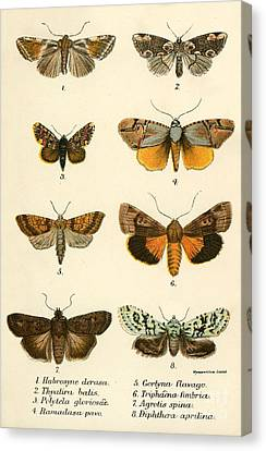 Insect Canvas Print - Butterflies by English School