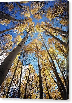 Populus Tremuloides Canvas Print - California, Sierra Nevada Mountains by Christopher Talbot Frank