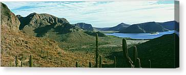Cardon Cactus Pachycereus Pringlei Canvas Print by Panoramic Images