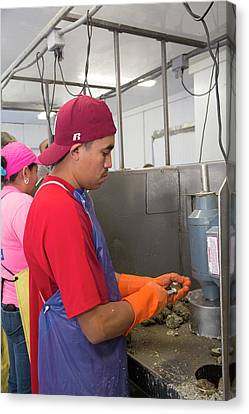 Commercial Oyster Processing Canvas Print