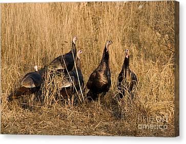 Eastern Wild Turkeys Canvas Print by Linda Freshwaters Arndt