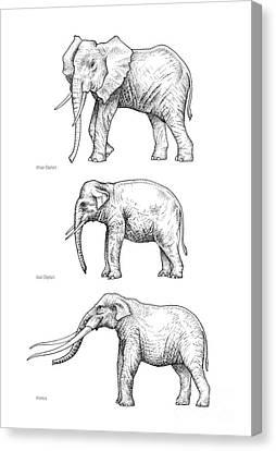 Elephant Evolution, Artwork Canvas Print