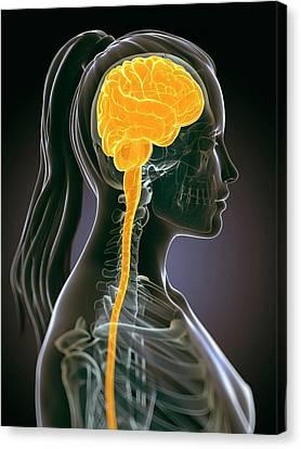Female Brain Canvas Print by Sebastian Kaulitzki