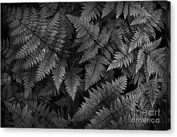 Ferns Canvas Print by Steve Patton