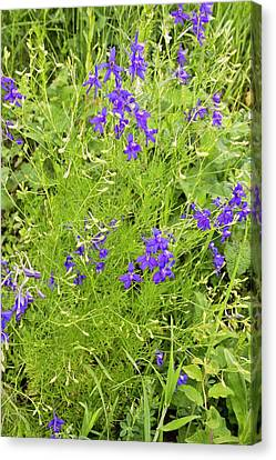 Forking Larkspur (consolida Regalis) Canvas Print by Bob Gibbons
