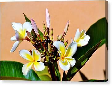 Frangipani Blossom Canvas Print by Werner Lehmann