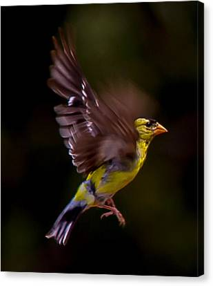 Gold Finch Canvas Print by Brian Williamson