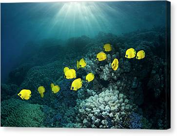 Golden Butterflyfish Canvas Print by Georgette Douwma