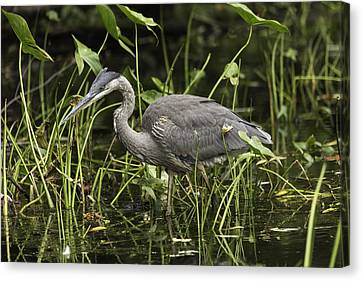 Great Blue Heron Fishing Canvas Print by Josef Pittner
