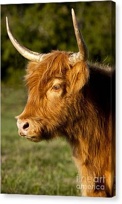 Franklin Tennessee Canvas Print - Highland Cow by Brian Jannsen