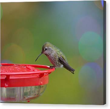 Hummingbird Canvas Print by Kathy King