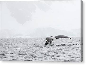 Humpback Whales Feeding On Krill Canvas Print by Ashley Cooper