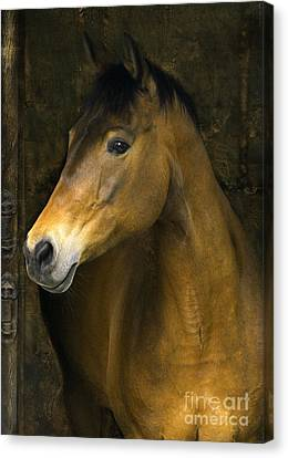 Bay Horse Canvas Print - In The Stable by Angel  Tarantella