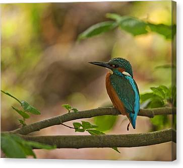 Kingfisher Canvas Print by Paul Scoullar