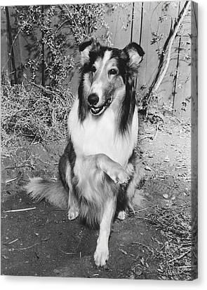 Lassie Canvas Print by Retro Images Archive
