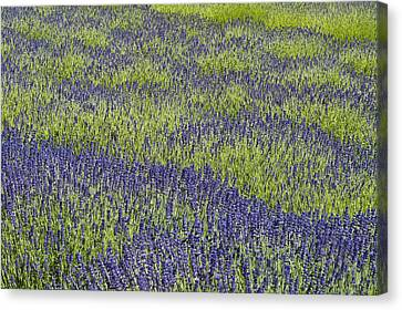 Lavendar Field Rows Of White And Purple Flowers Canvas Print