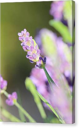 South Of France Canvas Print - Lavender by Heike Hultsch